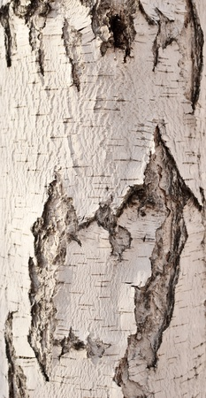 bark: birch bark background Stock Photo