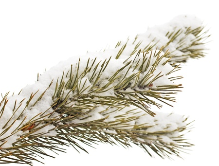 christmas branch with fresh snow on white background photo