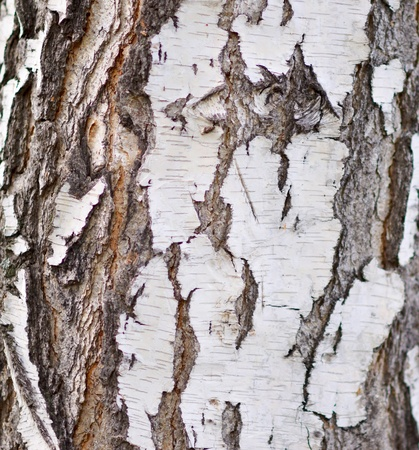 birch bark: birch bark background Stock Photo
