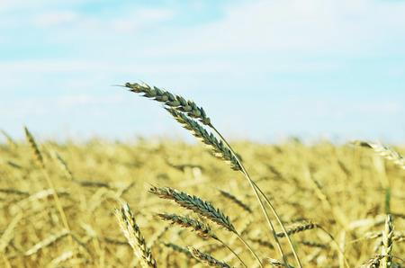 wheat field an blue sky photo