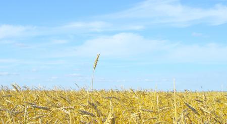 single wheat spike against blue sky photo