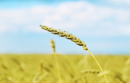 single wheat ear against field and blue sky photo