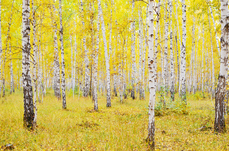 birch autumn forest Stock Photo - 22607071