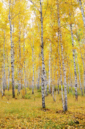 autumn birch forest Stock Photo - 22607074