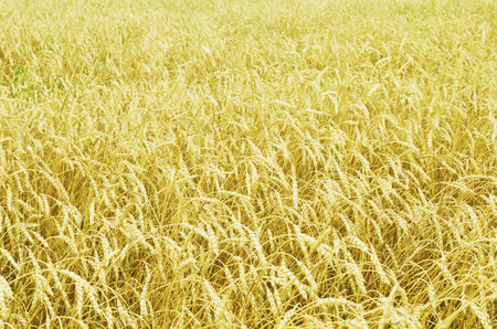golden ripe wheat field at the September photo