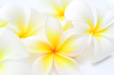close up of beauty frangipani flowers photo