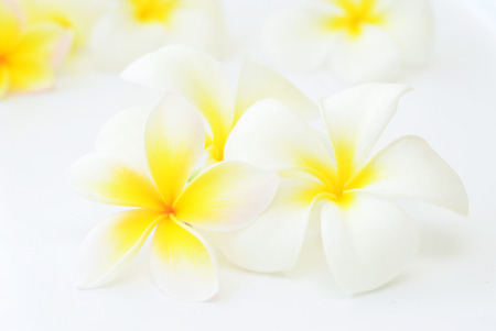 frangipani flowers on white background photo