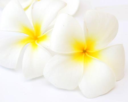 frangipani flowers on white background photo
