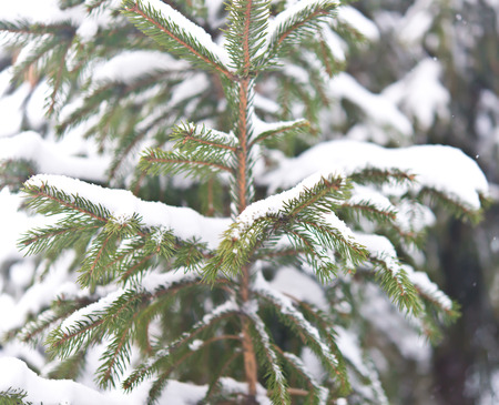 close up shot of pine tree with snow photo