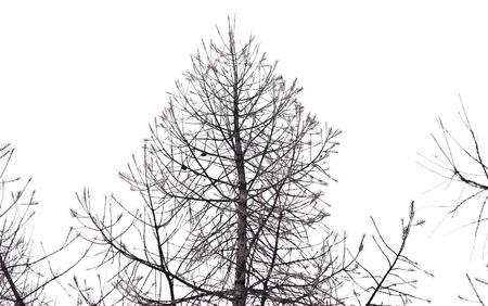 dry trees isolated on white background photo