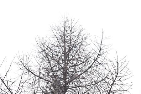 leafless tree isolated on white background photo