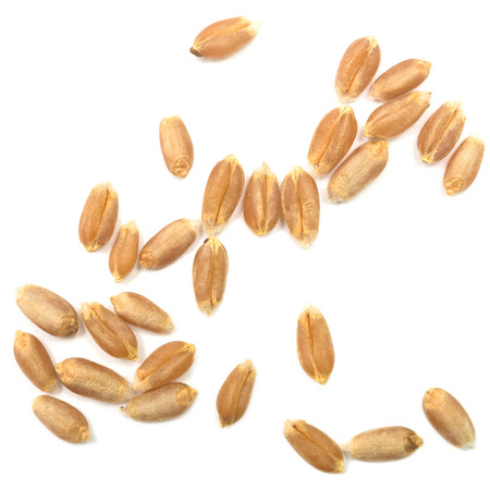 cosecha de trigo: grano de trigo aislado en fondo blanco