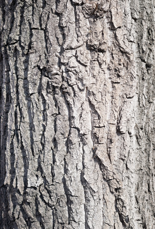 thick growth: maple bark background