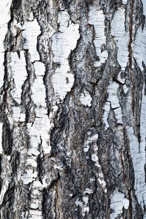 bark texture: birch bark texture