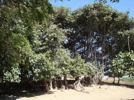 Giant Banyan Tree Stock Photo