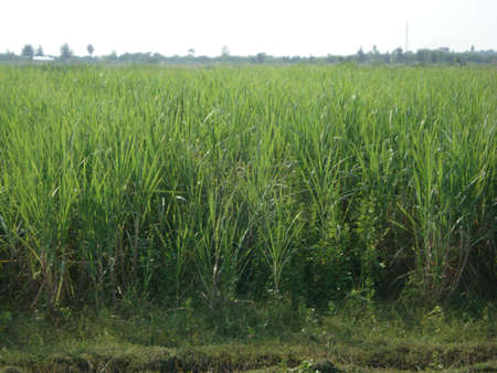 sucrose: Sugar cane plantation