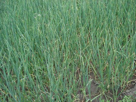 red onion field