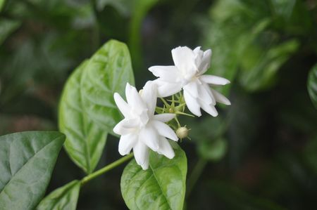 Indian Jasmine flowers Stock Photo - 7135579