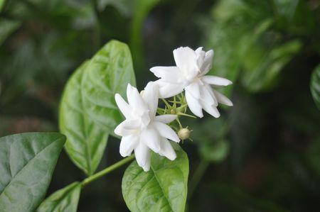 Indian Jasmine flowers