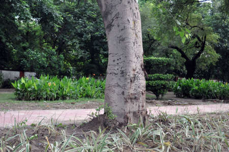 Stem of Neem Tree