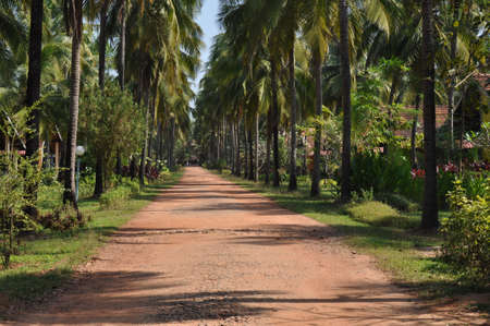 A beautiful avenue of coconut palm trees Stock Photo
