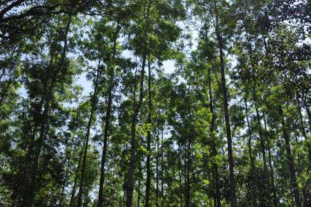 Silver oak trees provide shade to coffee plants