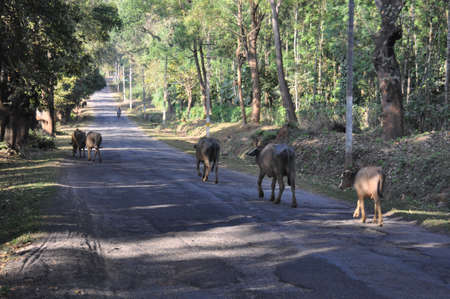 Buffaloes trudge home along a village road Stock Photo