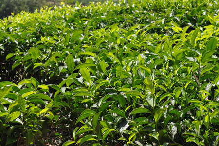 Tea plants and tender leaves Stock Photo - 10227166