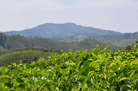 Beautiful Nilgiri mountains behind the tea plantations Stock Photo