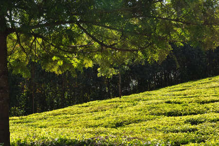A tea plantation as seen from under a shade tree.
