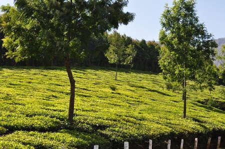 Tea plantaions  Stock Photo