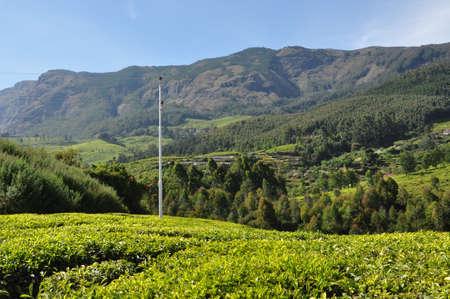 Mountains form the background of a tea garden