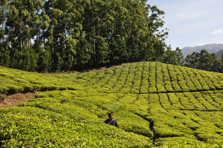 Rows of tea plants and shade trees