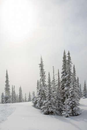 Alpine slope with pine tree covered snow Stock Photo - 4578442
