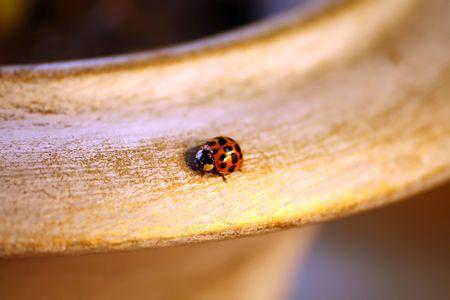 Closeup of ladybug on flower pot photo