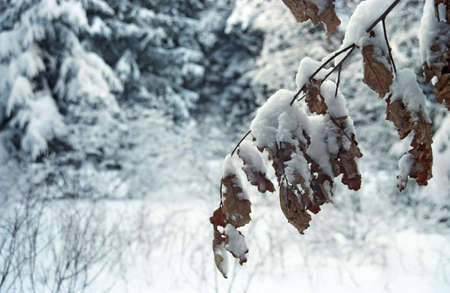clearness: Winter forest in December. Moscow suburbs Stock Photo