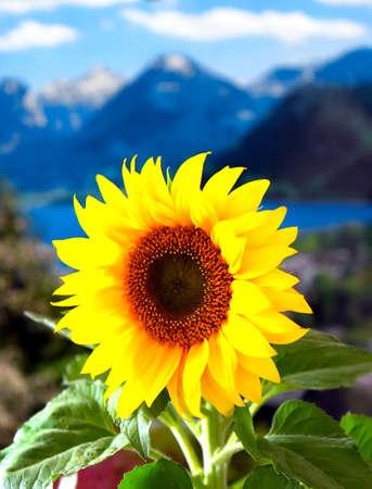 Beautiful yellow Sunflower in the Alps, Switzerland Stock Photo - 1448256