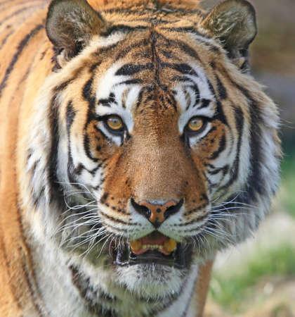 muffle: Tiger