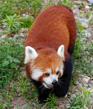 Red panda (Ailurus fulgens fulgens) photo