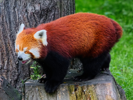 Red panda ( Ailurus fulgens) in wilderness photo