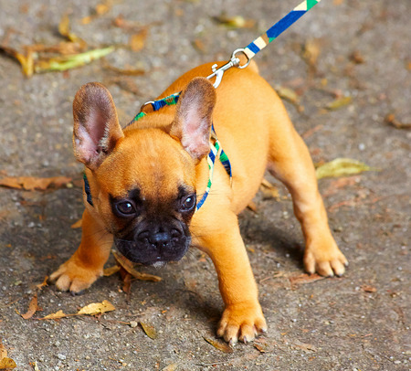 French bulldog puppy in the park photo