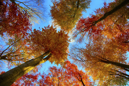 Beech trees seen from low angle photo