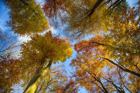 Beech trees seen from low angle
