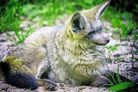 eurasian wolf: Resting wolf on the ground