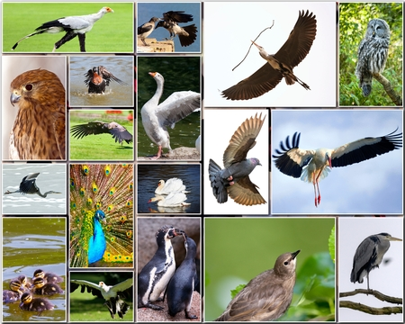 Collage of various species of birds Stock Photo - 26900509
