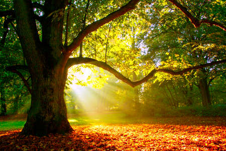 rises: Mighty oak tree