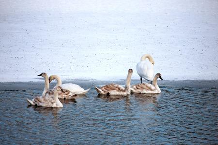 cisnes: Cisnes Foto de archivo