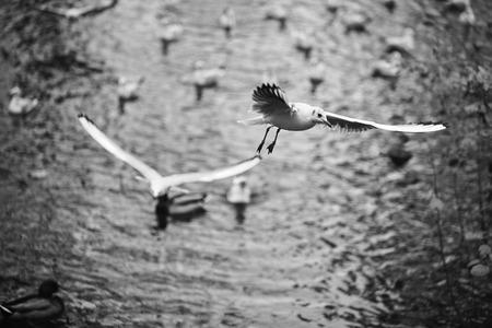 the seagulls: Soaring seagulls