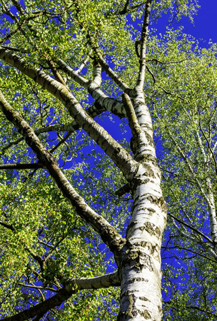 birch tree: birch tree in the sun