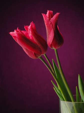 Red tulips on the dark background. Studio photo. photo